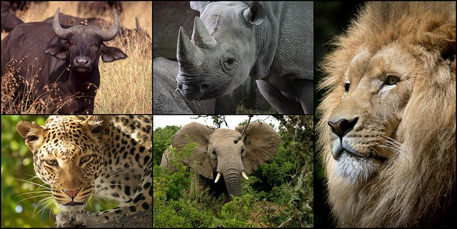 What are the big five of Africa?