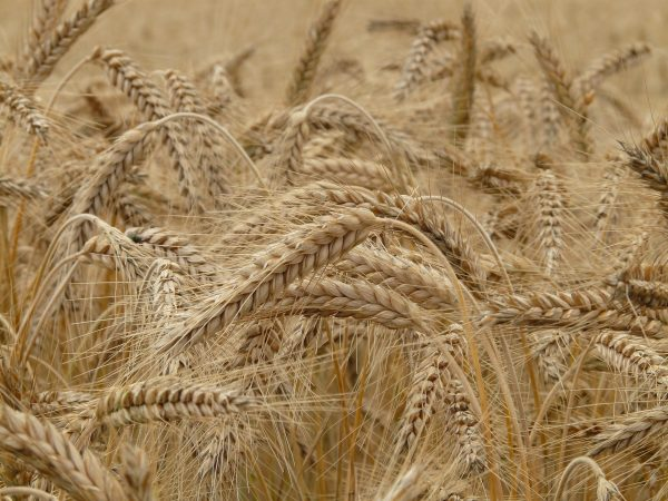 Wheat belly: How the benign ingredient has become dangerous